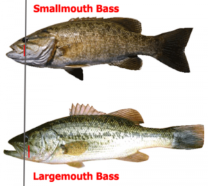 Smallmouth vs Largemouth Bass